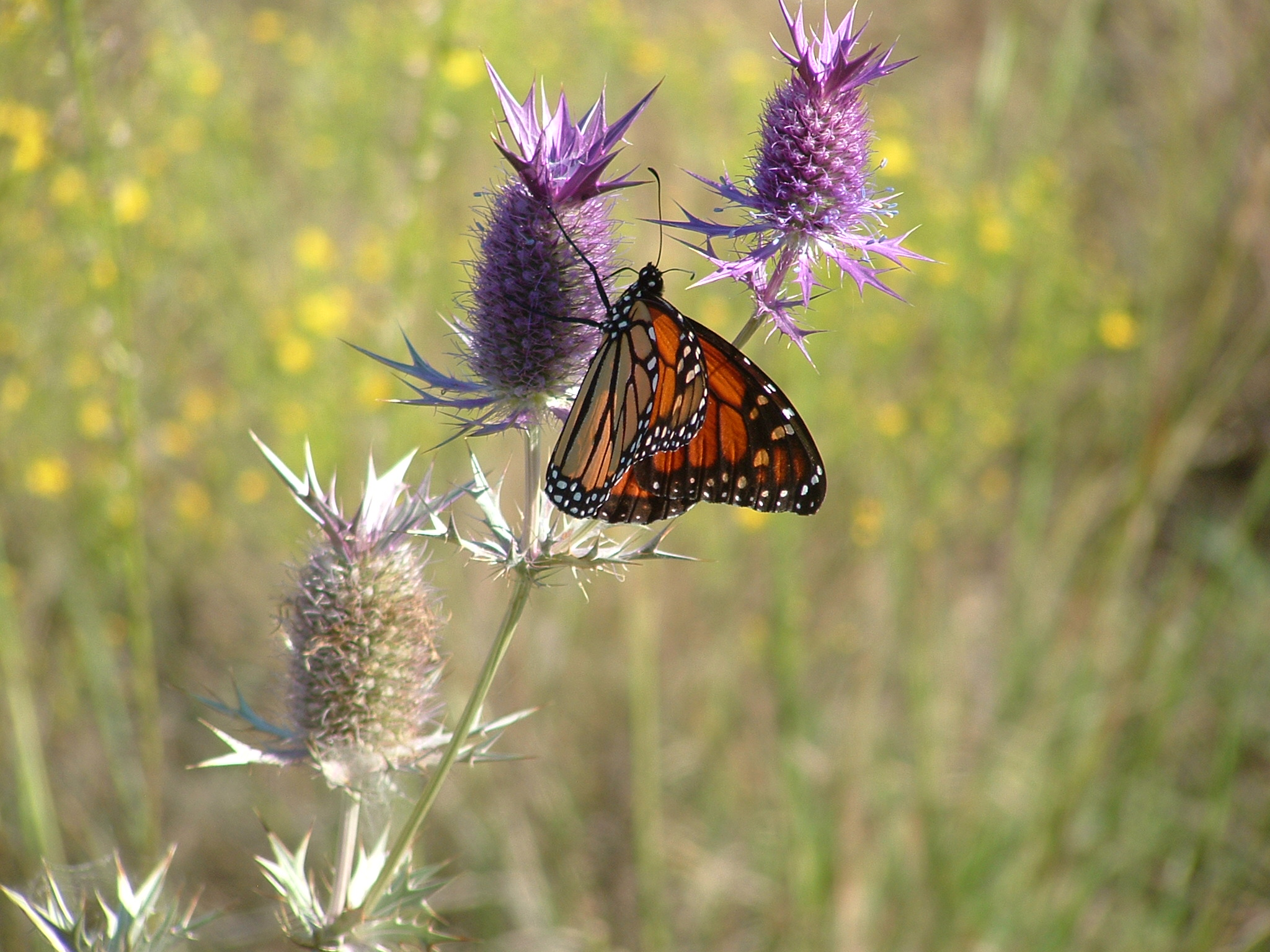 Monarch on Eryngium